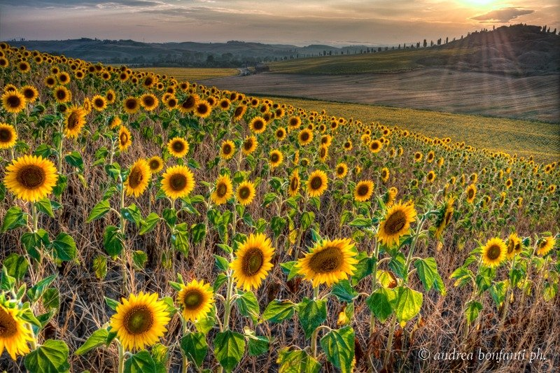 visite guidate in toscana con isabelle -  Campagna toscana - Andrea Bonfanti Photographer ©  girasoli
